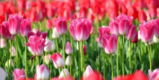 Milaan_tulipani-milano-tulpen
